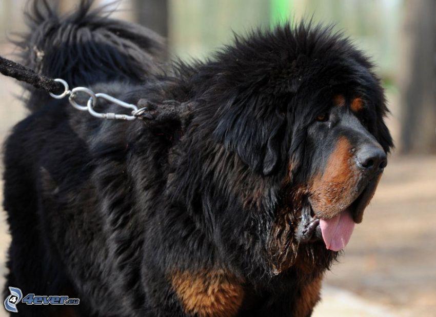 Tibetan mastiff, put out the tongue