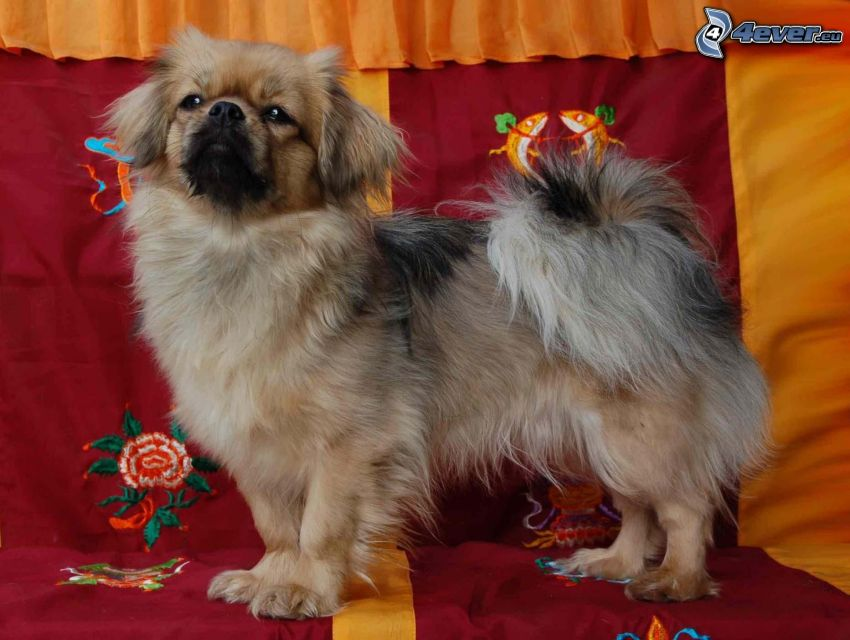 tibetan spaniel, deck chair