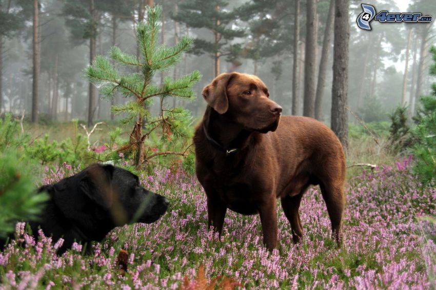 two dogs, brown dog, black dog, forest, purple flowers
