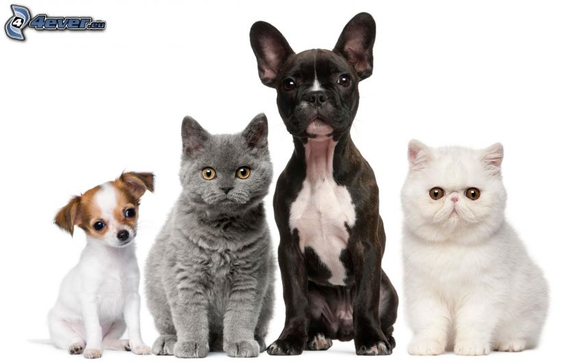 two dogs, cats, british shorthair, white cat