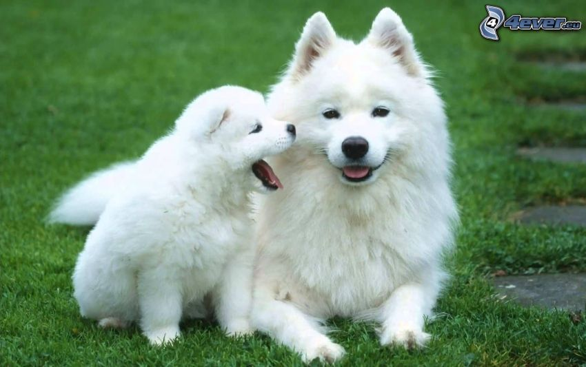 two dogs, white dog, puppy, grass