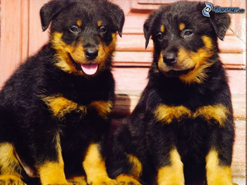 two puppies, terrier