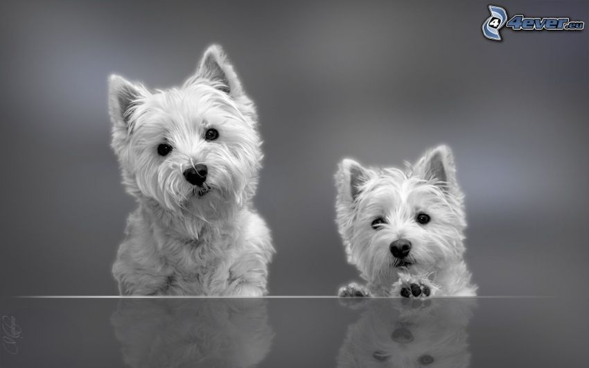 westie, black and white photo