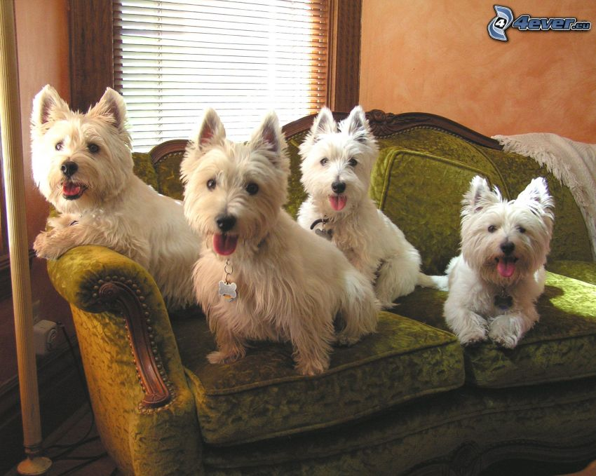 westie, dog on couch, put out the tongue