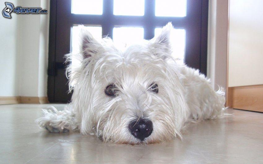 westie, dog on the floor
