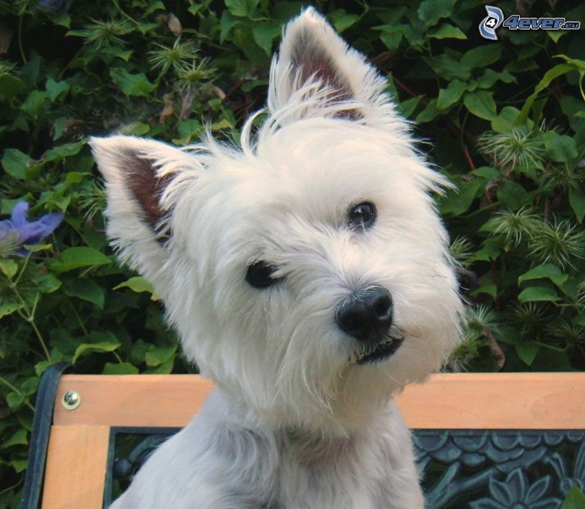 westie, green leaves