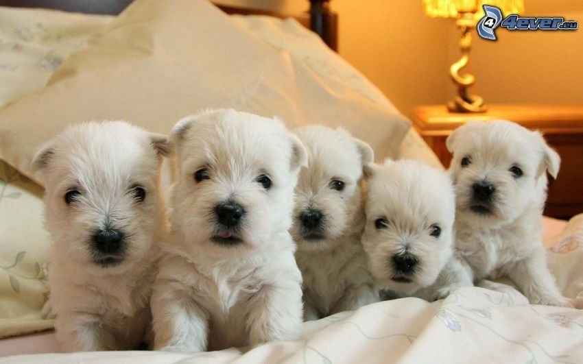 westie, puppies, dog on the bed