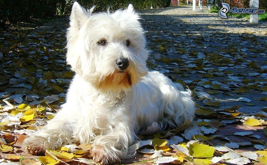 westie, road, autumn leaves