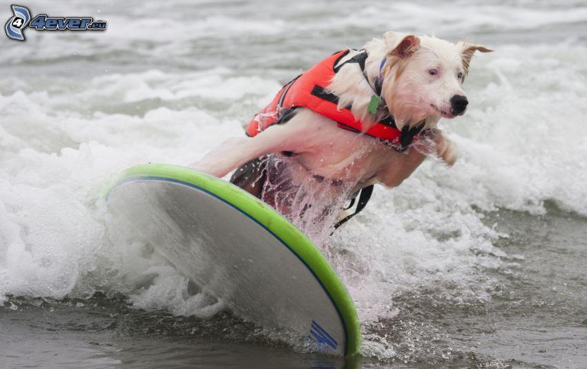white dog, surfing