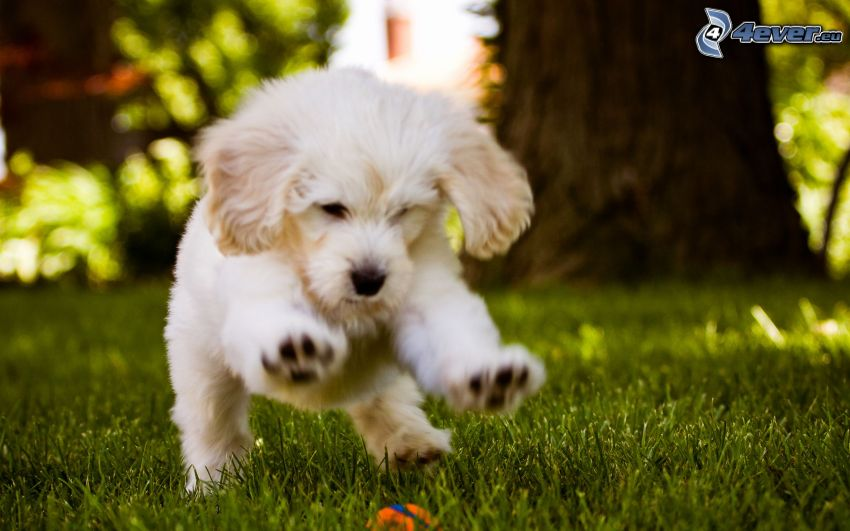 white puppy, game