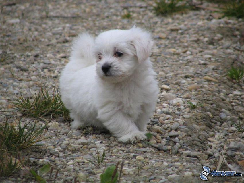 white puppy, gravel