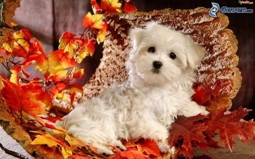 white puppy, red leaves