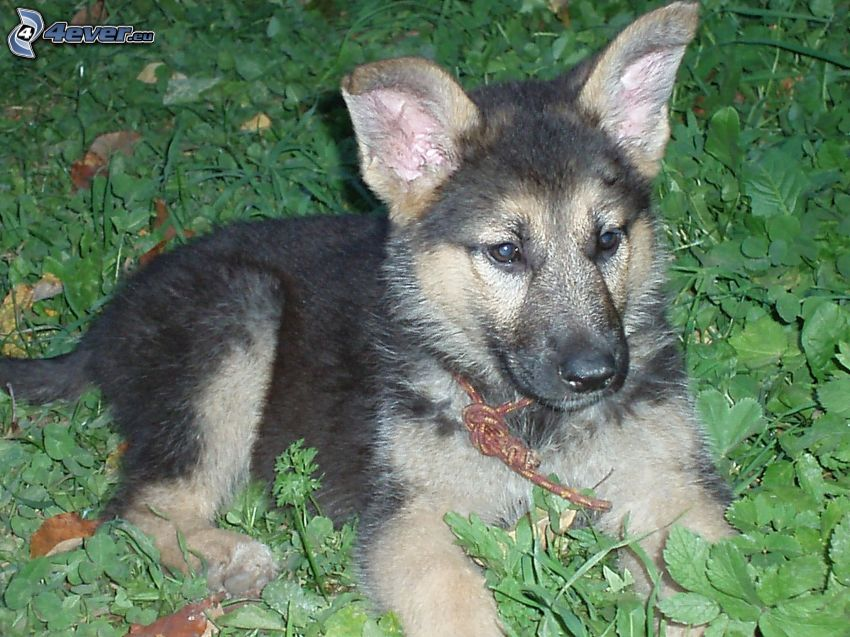wolf-dog puppy, grass