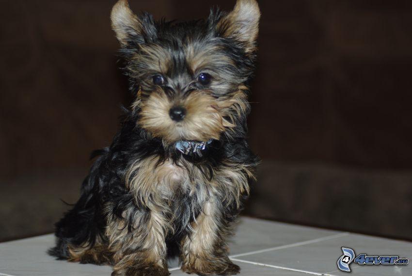 Yorkshire Terrier, puppy