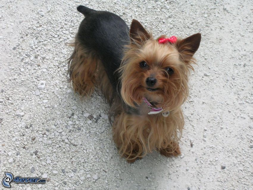 Yorkshire Terrier with ribbon, gravel
