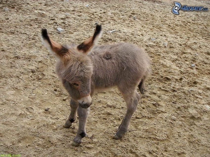 donkey, cub