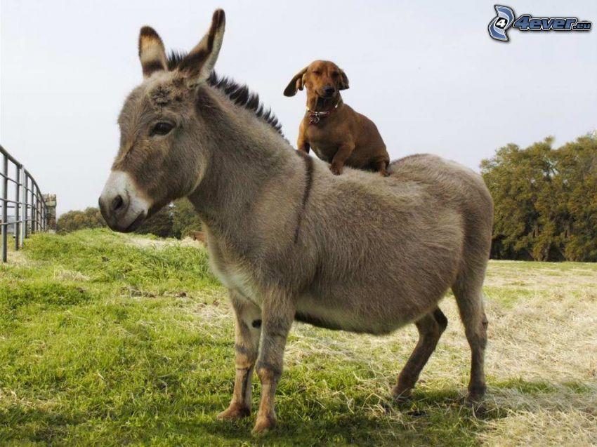 donkey, dog