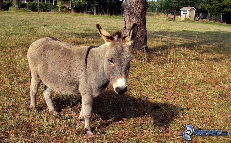 donkey, dry grass