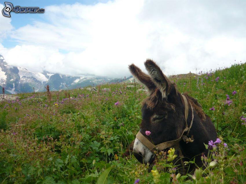 donkey, grass
