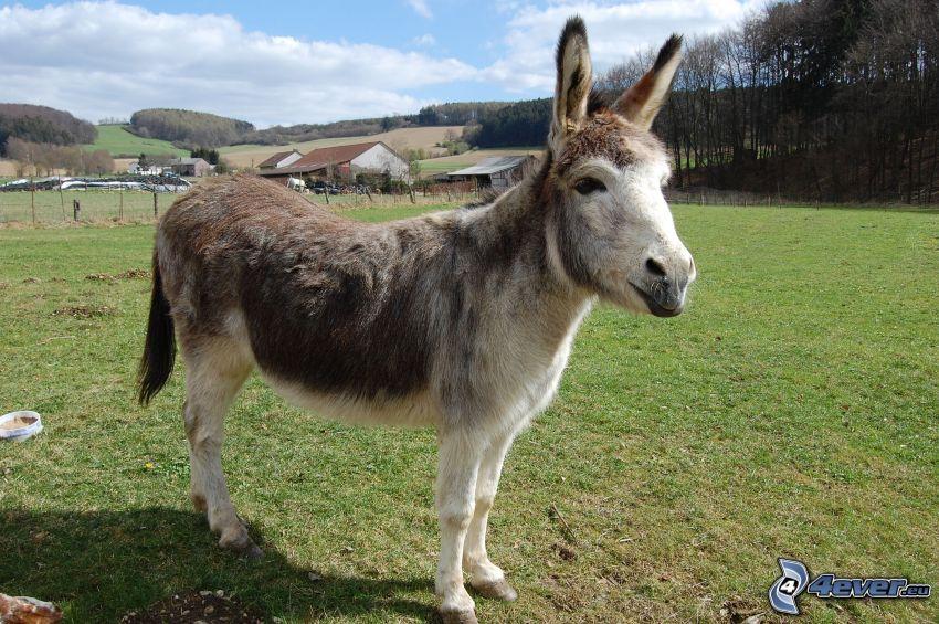 donkey, lawn