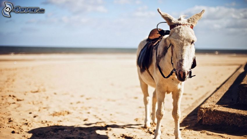donkey, sandy beach
