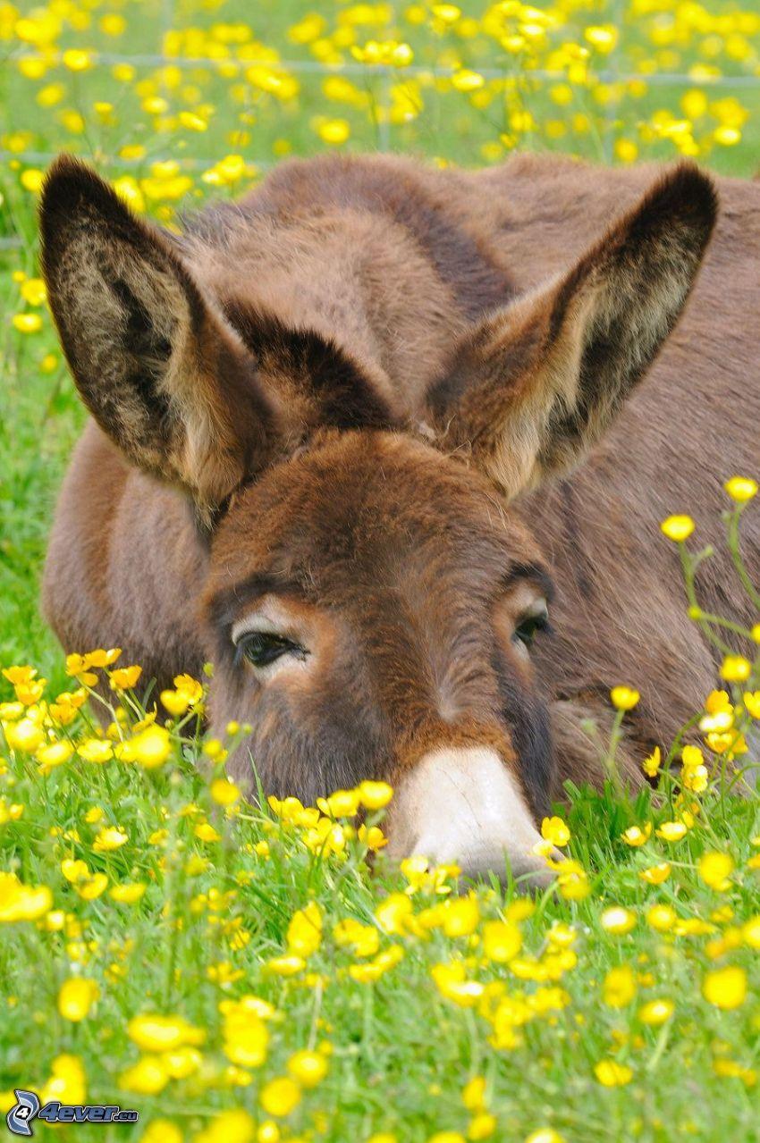 donkey, yellow flowers