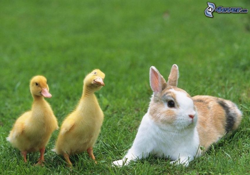 ducklings, spotted bunny, lawn
