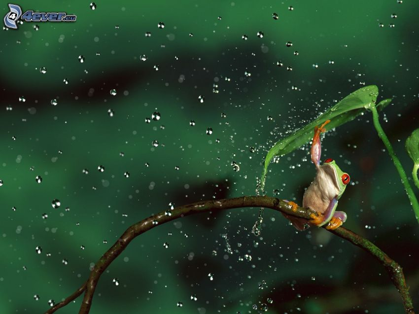 frog, rain, drops of water