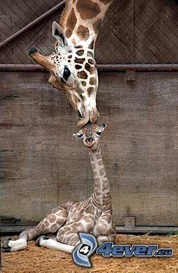 giraffe family, giraffe offspring, kiss