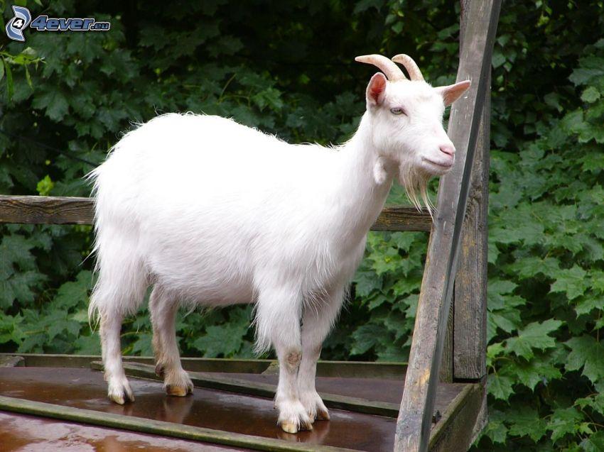 goat, greenery
