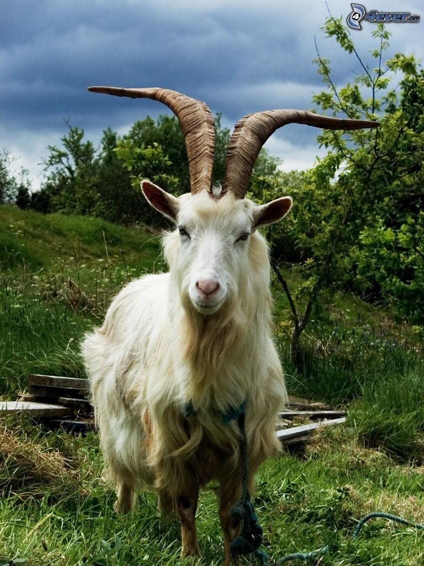 goat, horns, greenery