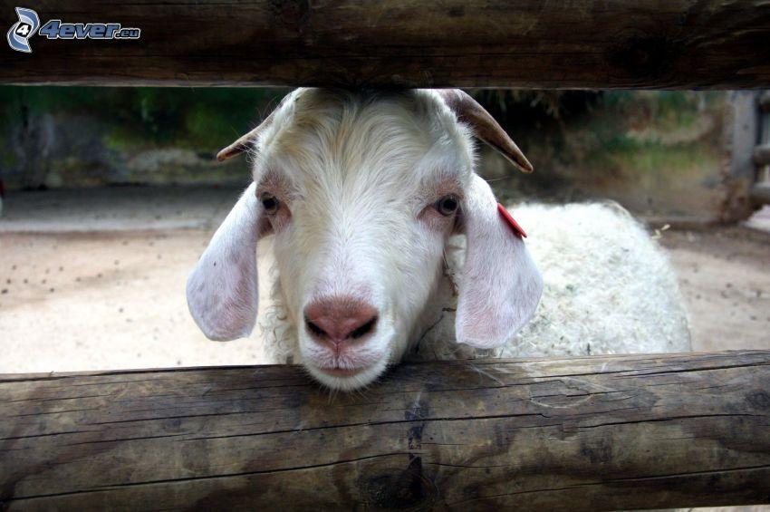 goat, palings