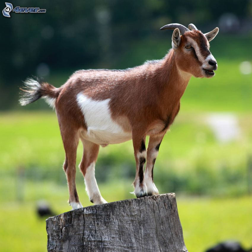 goat, stump