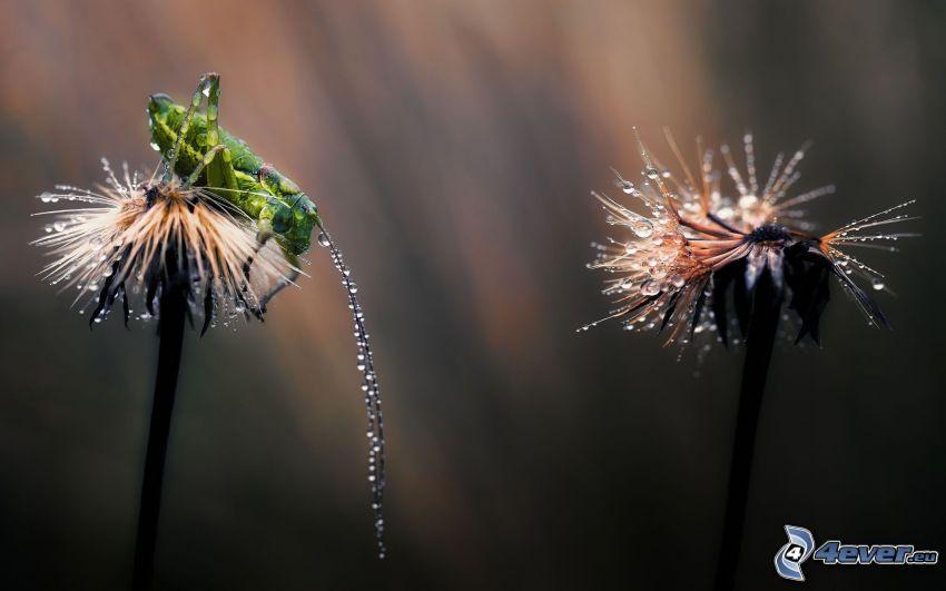 grasshopper, flowers, dew