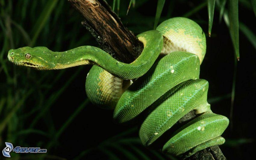 green snake, snake on the tree