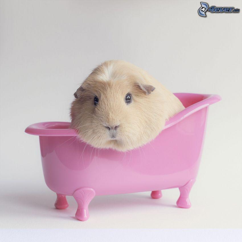guinea pig, bath