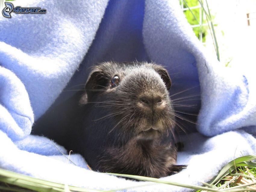 guinea pig, blanket