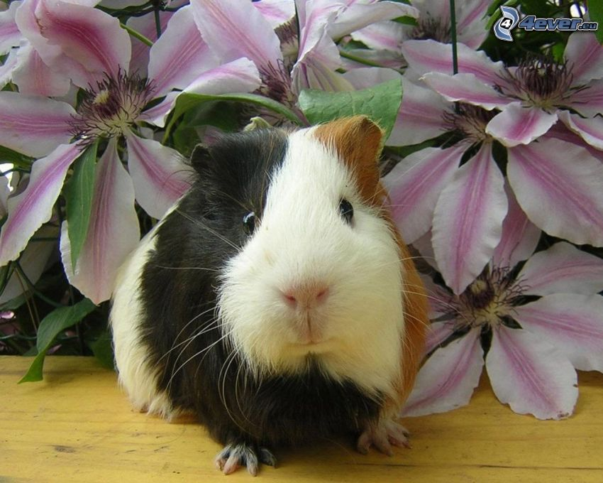 guinea pig, flowers