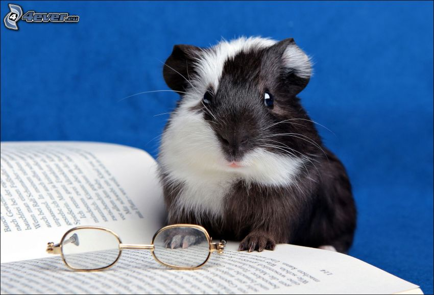 guinea pig, glasses, book