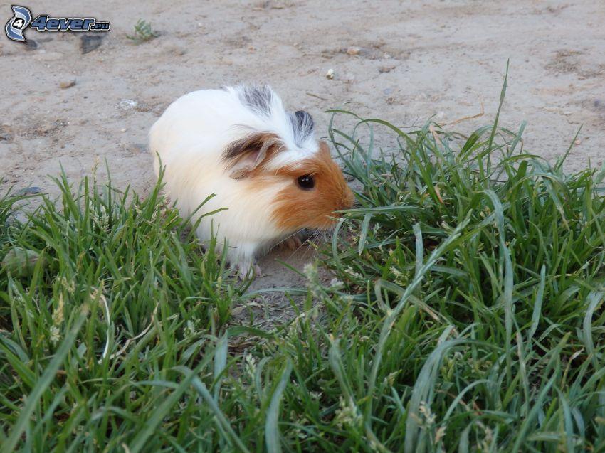 guinea pig, grass