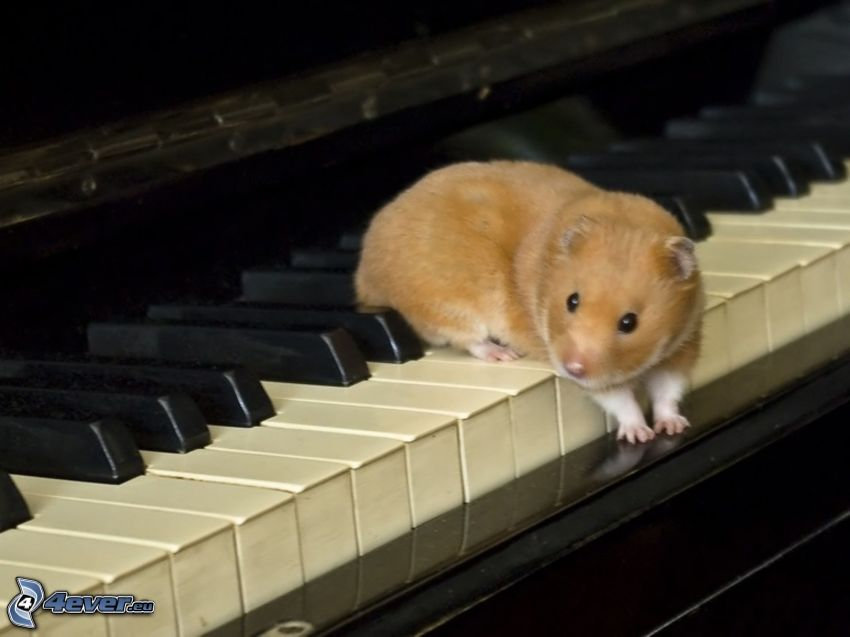 guinea pig, piano
