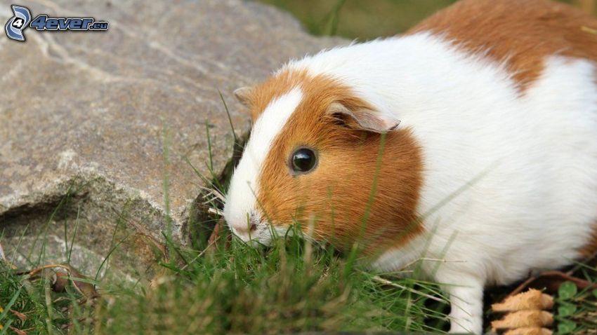 guinea pig, rock