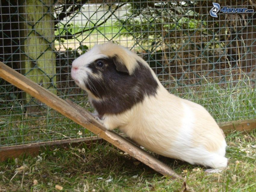 guinea pig, wire fence