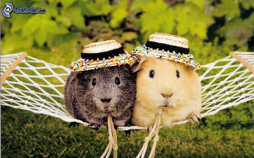 guinea pigs, hammock, hats