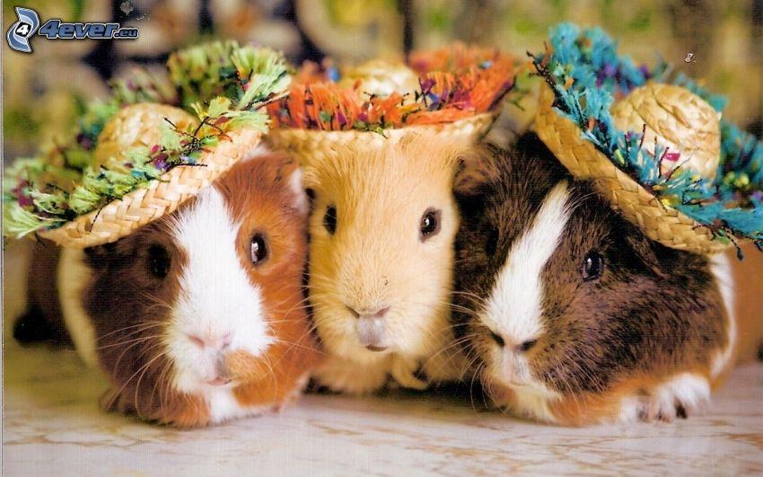guinea pigs, hats