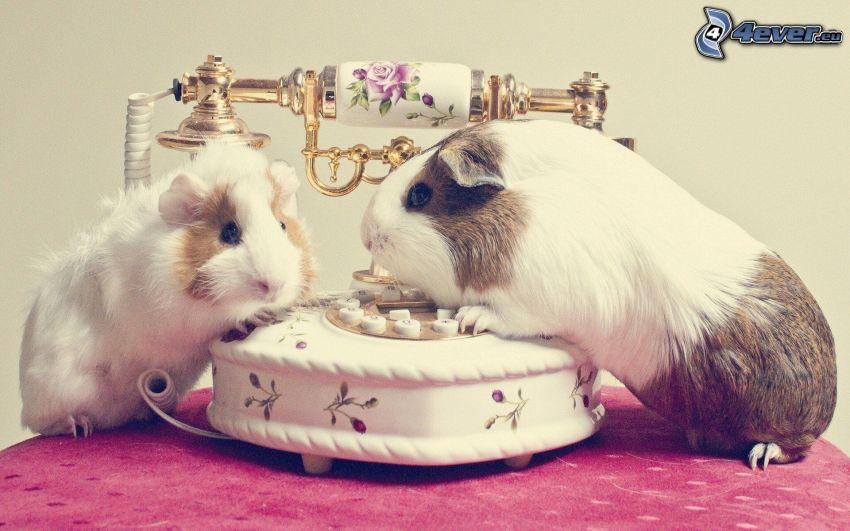 guinea pigs, phone
