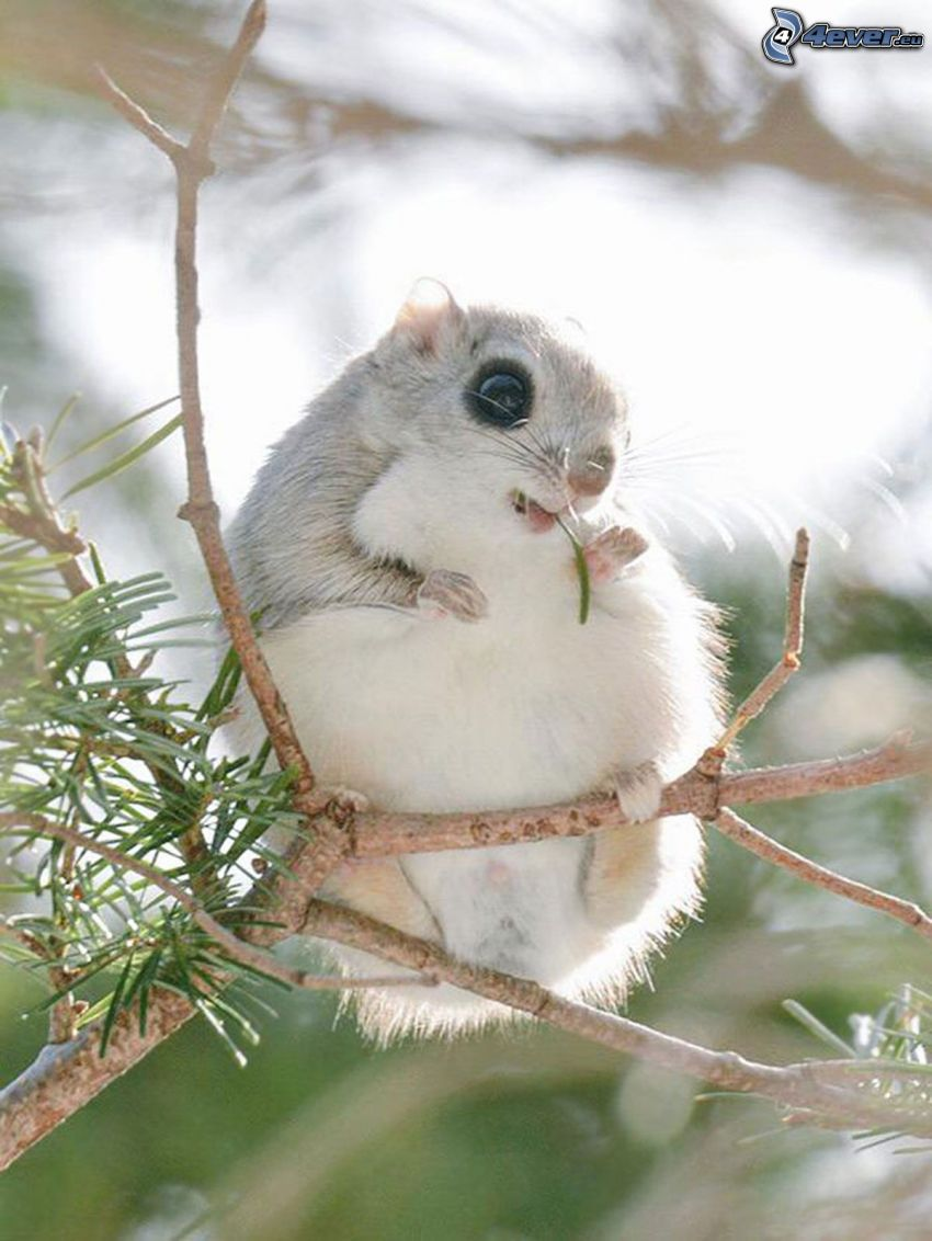 hamster, coniferous branches