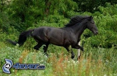 black horse, meadow, grass, greenery