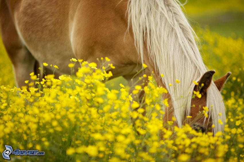 brown horse, rapeseed