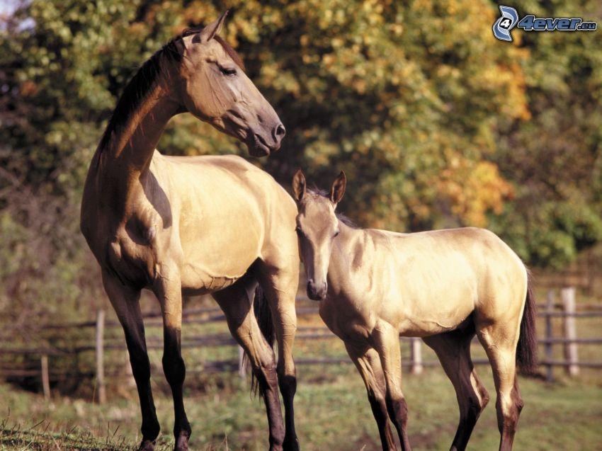 brown horses, foal